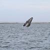 Grey Whale breaching in San Ignacio Lagoon