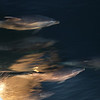 Common Bottlenose Dolphins swimming in front of the boat with the red sky at sunrise reflected in the water