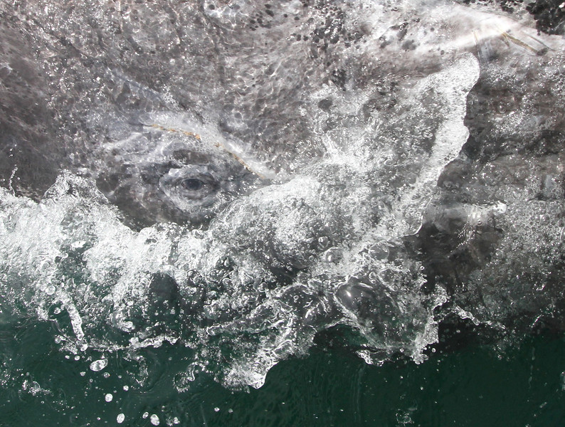 The eye of a Grey Whale in San Ignacio Lagoon