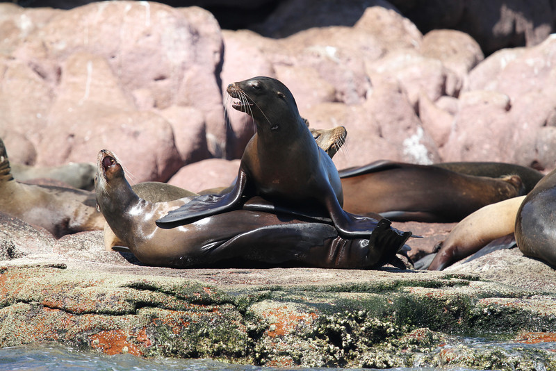 Californian Sea Lions on Los Islotes