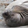 Northern Elephant Seal on Isla San Benito