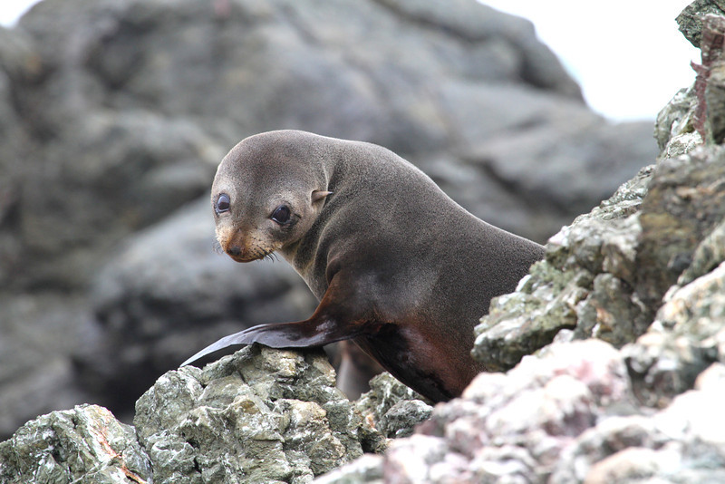 Young Guadeloupe Fur Seal