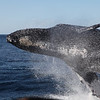 This Humpback Whale breached very close to the front of the boat