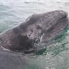 Grey Whale calf in San Ignacio Lagoon