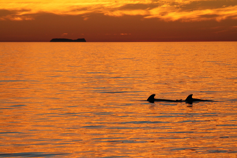 Short-finned Pilot Whales against a brilliantly-coloured sunrise