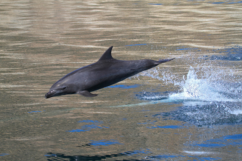 Common Bottlenose Dolphin off Isla San Jose