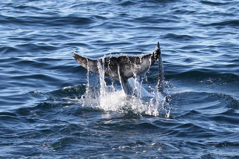 Risso's Dolphin fluke