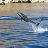 Common Bottlenose Dolphin off Isla San Jose