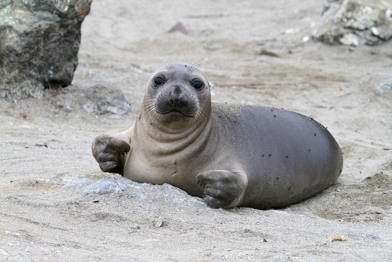Northern Elephant Seal on Isla San Benito