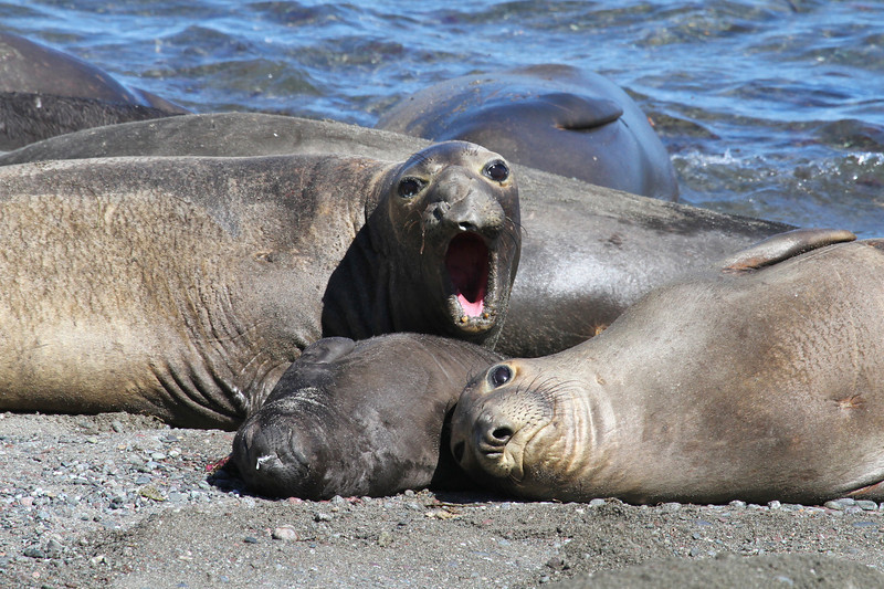 Northern Elephant Seal females and pups on Isla San Benito