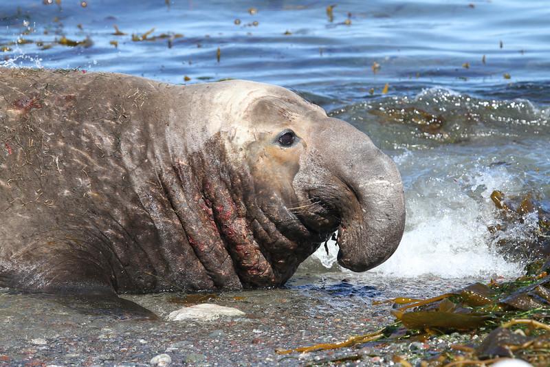 Northern Elephant Seal bull on Isla San Benito