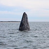 Spyhopping Grey Whale in San Ignacio Lagoon