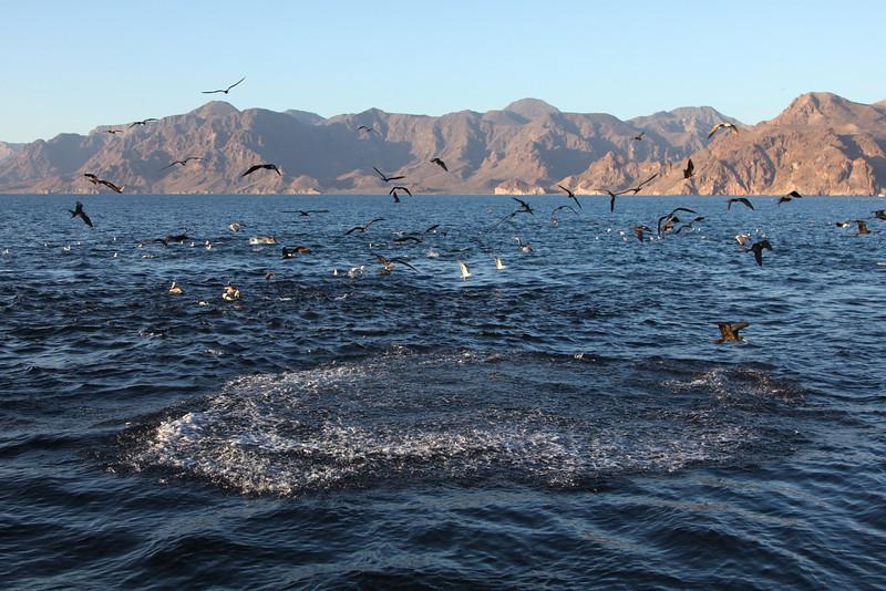 A feeding frenzy of dolphins, frigatebirds, pelicans and gulls just off Isla San Jose