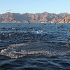 A feeding frenzy of dolphins, frigatebirds, pelicans and gulls just off Isla San Jose