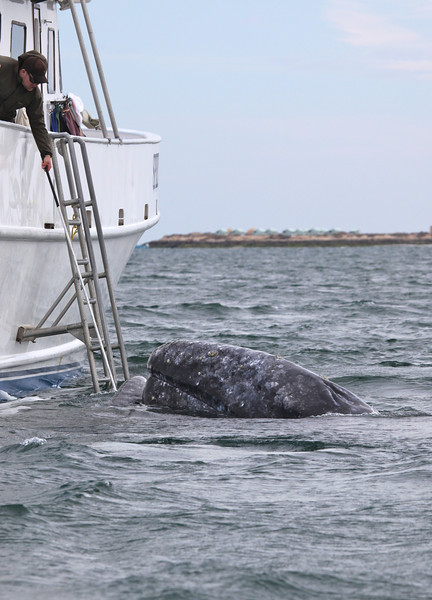Grey Whale visiting the Spirit of Adventure in San Ignacio Lagoon