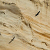 A Turkey Vulture flying on front of the rock face at Punta Colorada on Isla San Jose
