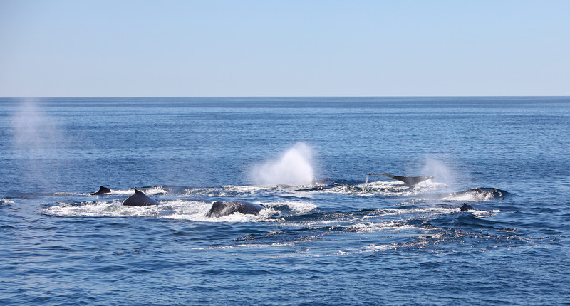 Humpback Whales on the Gorda Bank