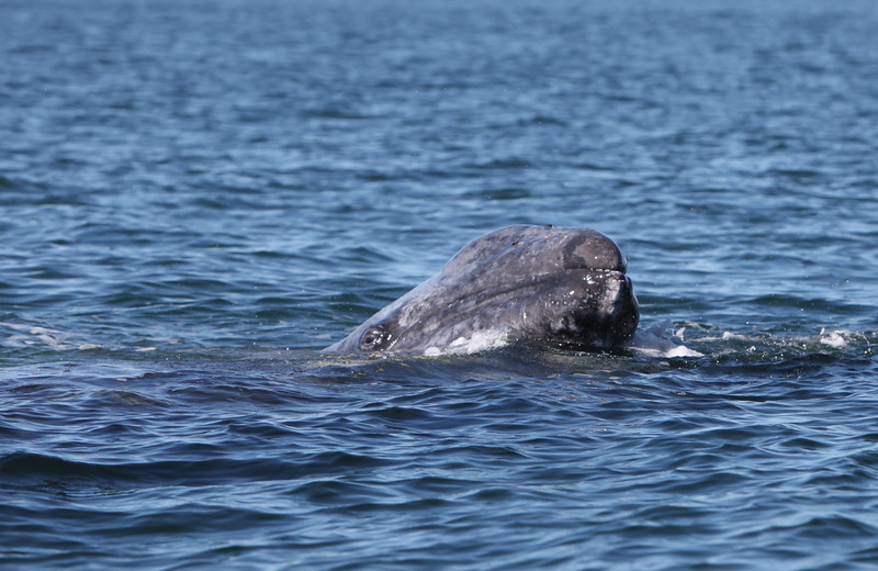 Grey Whale in San Ignacio Lagoon