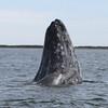 Spyhopping Grey Whale and calf in San Ignacio Lagoon
