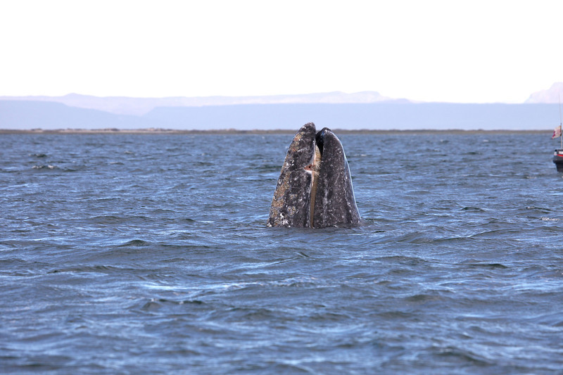 Grey Whale spyhopping in San Ignacio Lagoon
