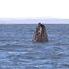 Grey Whale spyhopping in San Ignacio Lagoon