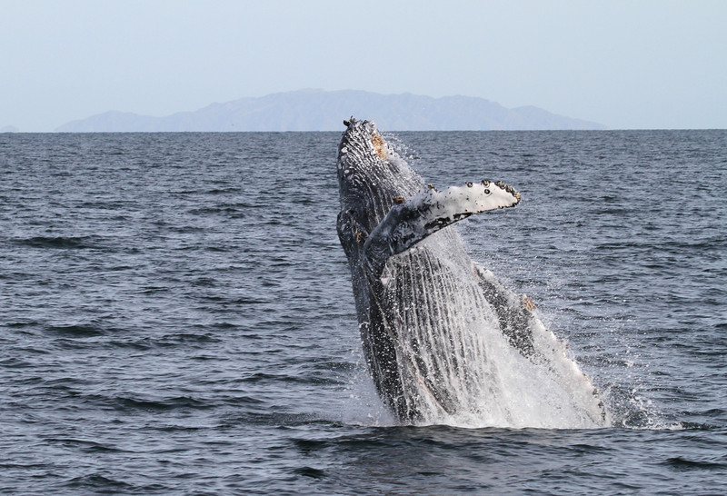 This Humpback Whale breached repeatedly, but as we neared it we could see it was entangled in discarded fishing gear