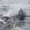 Grey Whale mother and calf in San Ignacio Lagoon