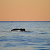 Humpback Whale at sunrise on the Gorda Banks