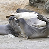 Northern Elephant Seals on Isla San Benito