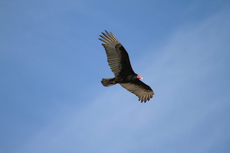 A Turkey Vulture flying over Punta Colorada on Isla San Jose