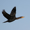 Double-crested Cormorant in San Ignacio lagoon