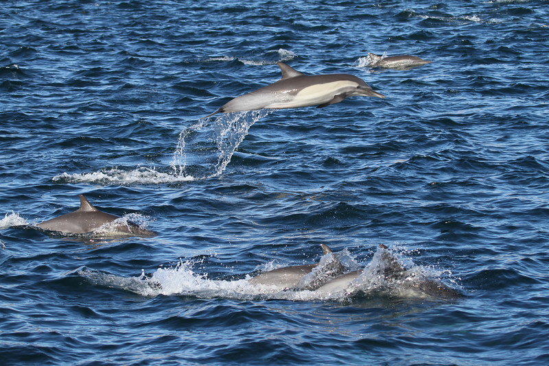 Common Bottlenose Dolphins off Isla Santa Catalina