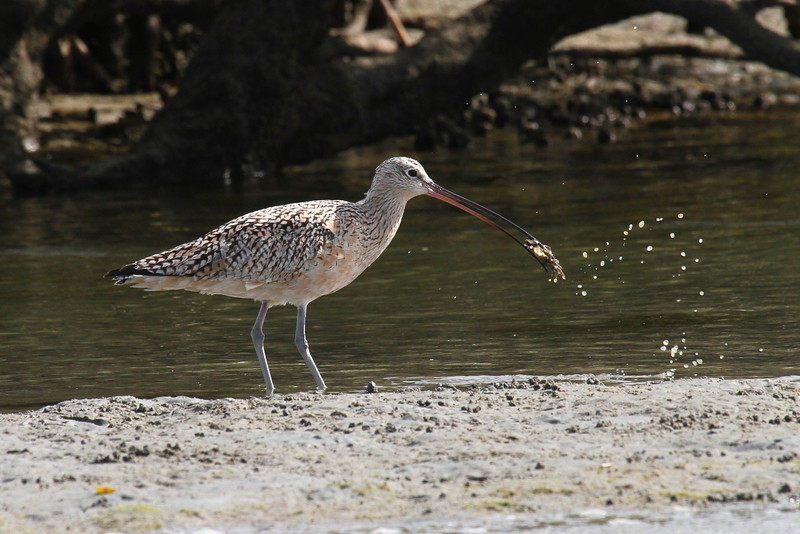 Long-billed Curlew feeding in San Ignacio lagoon