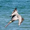 Brown Pelicans diving for fish off Isla San Jose
