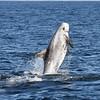 Breaching Risso's Dolphin