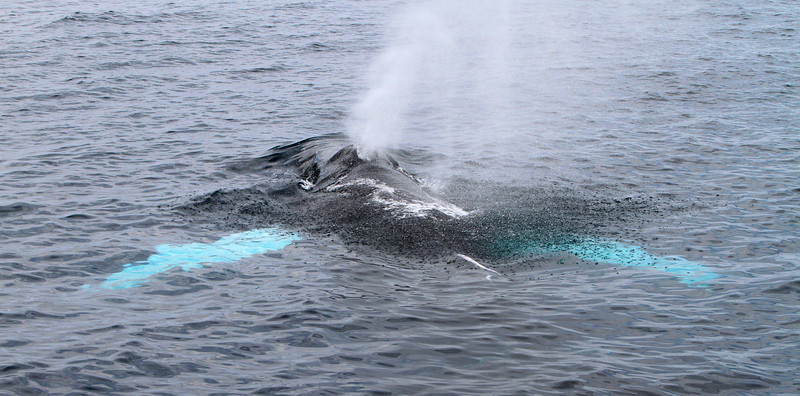 Humpback Whale on the Gorda Bank