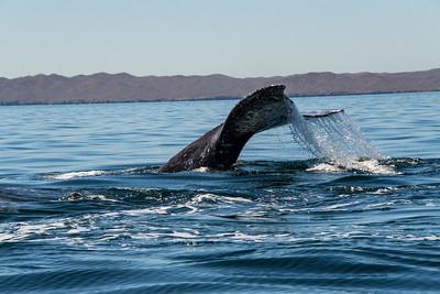 mexico, baja california sur, puerto san carlos, mammals, whales, grey whale, tail