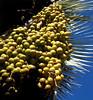 blue palm fruit