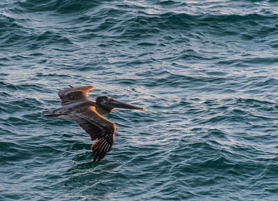 Brown Pelican - Low Level Flight