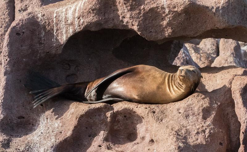 Sealion at Los Islotes, seeming to sunbathe