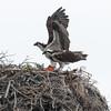 Ospreys on their nest on Isla San Benitos