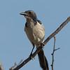 Western Scrub Jay at Los Frailes