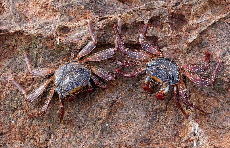 Sally Lightfoot crabs at Los Islotes