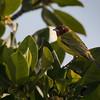 Mangrove Warbler in San Ignacio Lagoon
