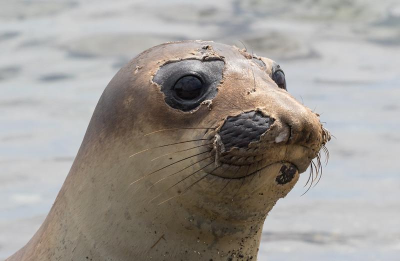 Northern Elephant Seal on Isla San Benitos