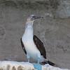 Blue-footed Booby at Punta Colorada