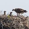 Osprey feeding its chicks on Isla San Benitos