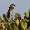 Yellow Warbler in San Ignacio Lagoon