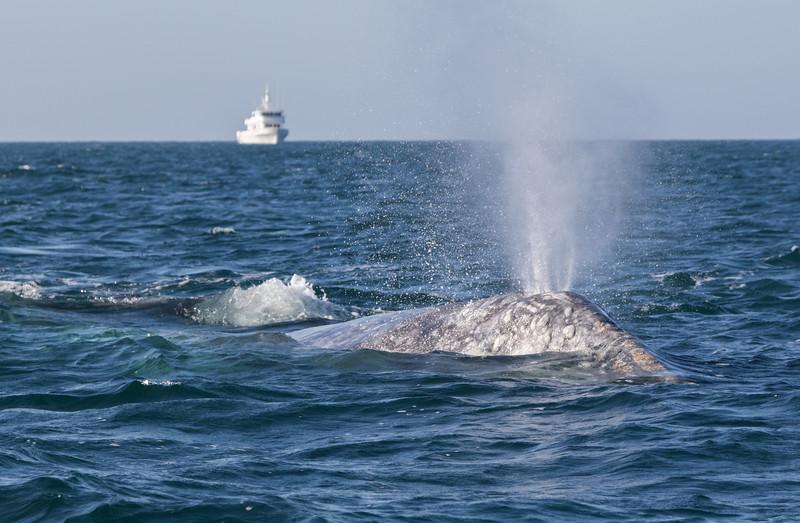 Mother Grey Whale and calf surfacing in San Ignacio Lagoon