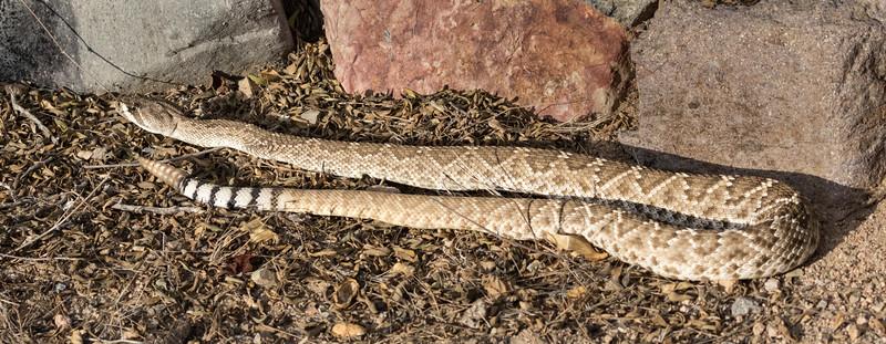 Western Diamondback Rattlesnake at Los Frailes